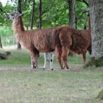 lamas (7) (Copier)